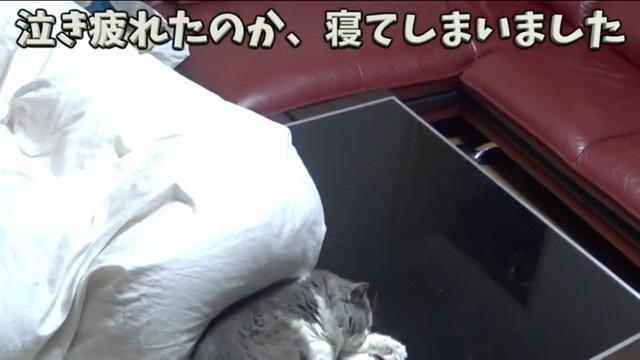 鳴き疲れて寝る猫