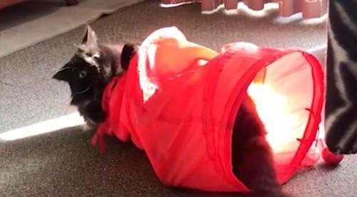 トンネルのおもちゃで遊ぶ猫