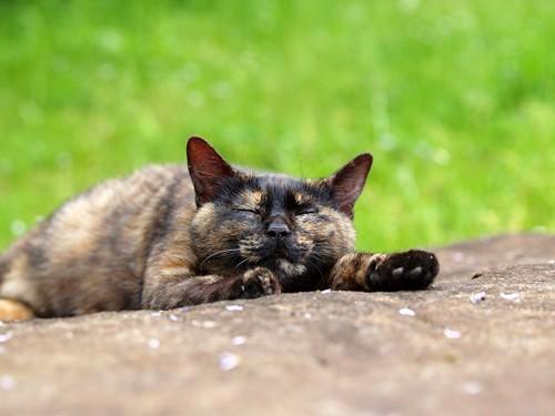 転がるサビ猫