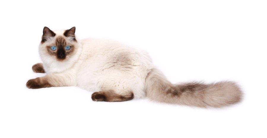 青い瞳のシールポイントバイカラーのラグドール