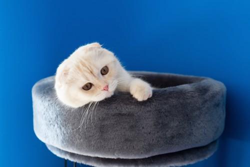 猫用ベッドでくつろぐスコティッシュフォールド