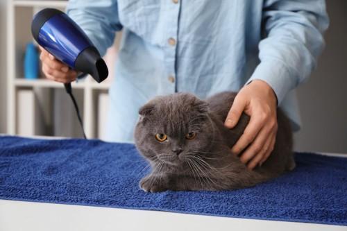 乾かされている猫