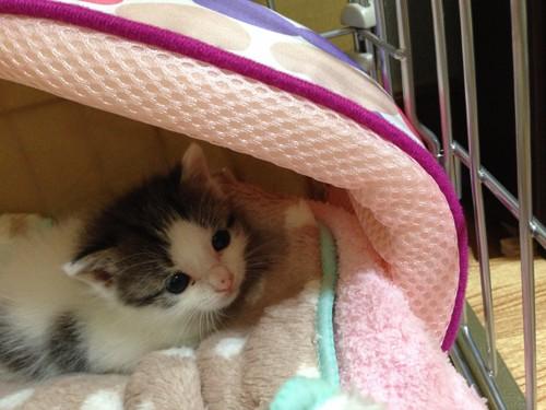 ケージ購入後の寝具と猫