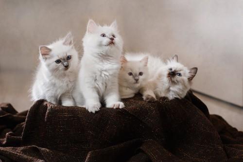 寄り添ってブランケットの上でくつろぐ子猫たち