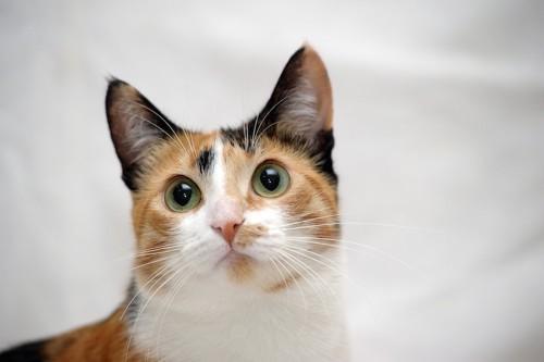 目がまん丸な三毛猫の顔アップ