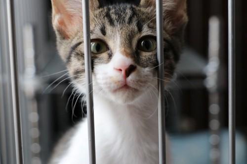 ケージの中から見つめる猫