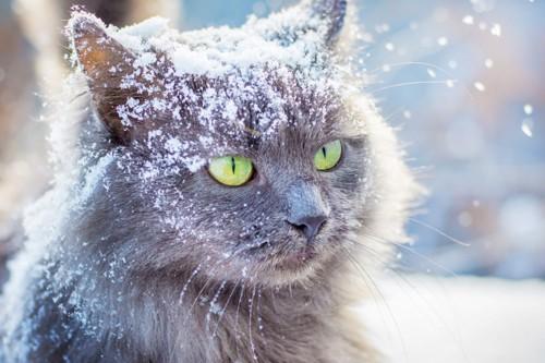 雪を被る猫
