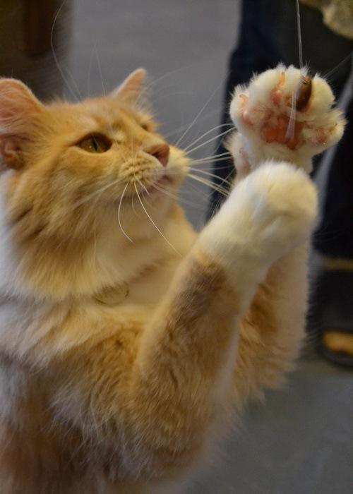 猫じゃらしで遊ぶネコ
