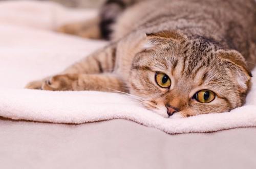毛布の上で横たわっているスコティッシュフォールド