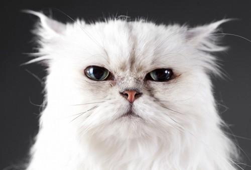怒っている白いペルシャ