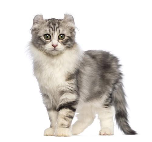 立ってこちらを見ているアメリカンカールの子猫