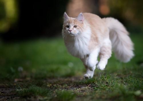 全力で走る猫