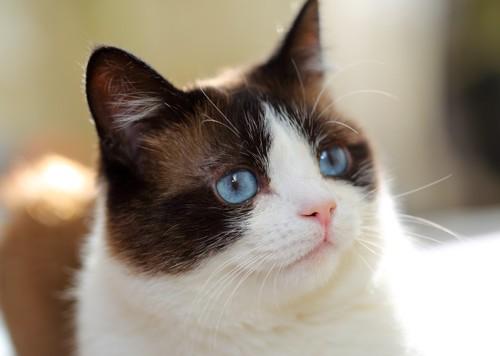 青い目のスノーシュー