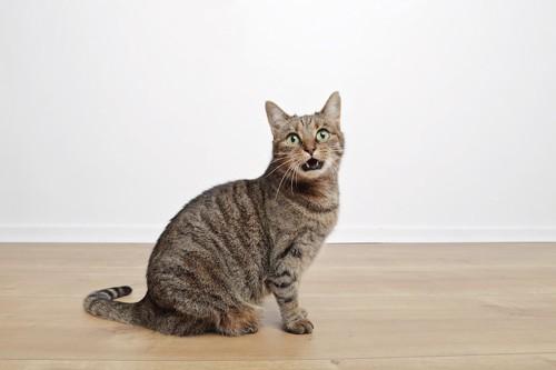 鳴いてこちらに訴える猫