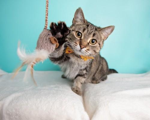 おもちゃに前足を伸ばす猫
