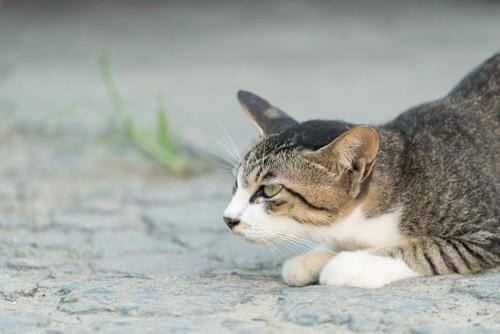 獲物を狙う猫