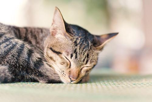 マットの上で眠る猫
