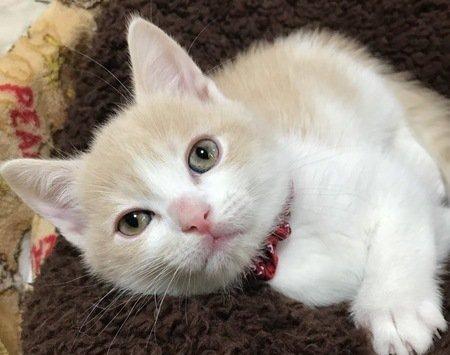 薄い茶色と白の毛色のブリティッシュショートヘアの子猫
