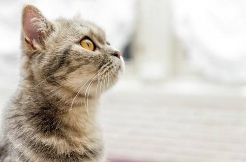 上を見つめる猫の横顔