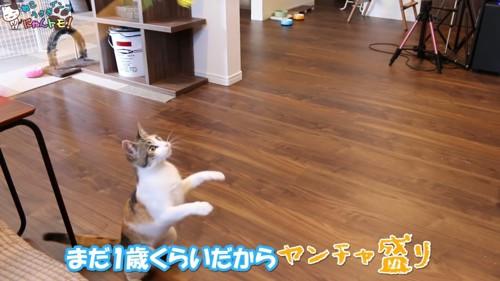 おもちゃに飛びつこうとする猫