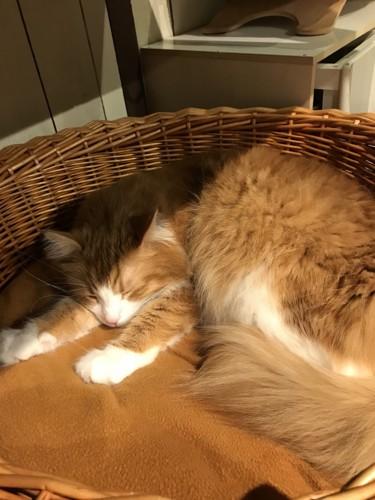 猫カフェ猫家の猫(菊一文字)