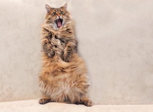 口を開けて立つ猫