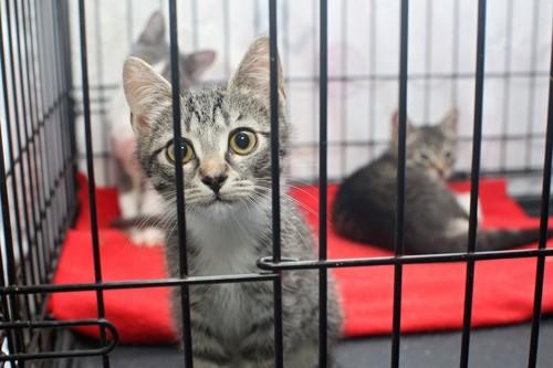 ケージに入った一時預かりの保護猫たち