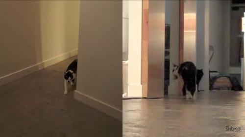 取ってこいをする猫