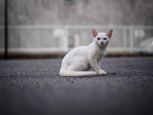 座って振り返る白い猫