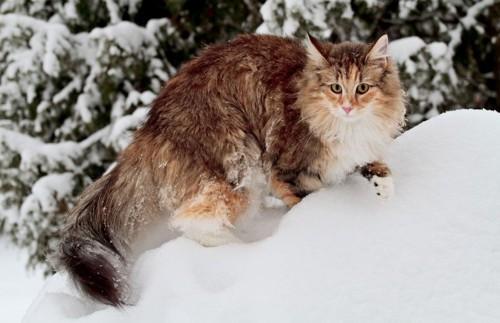 雪の上を登るノルウェージャンフォレストキャット