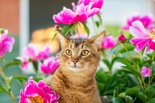 ピンクの花とアビシニアン