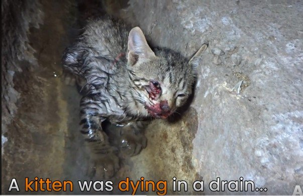 排水路で瀕死状態の子猫