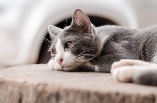 遠い目をしている猫