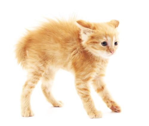 お腹の下に尻尾を入れる子猫