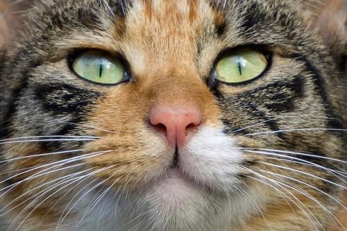 ミケ猫の顔アップ
