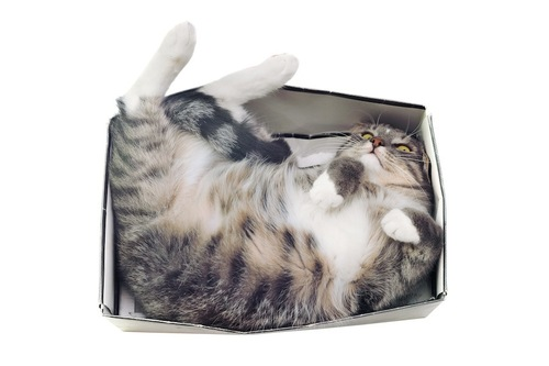 箱の中で寝るおデブ猫