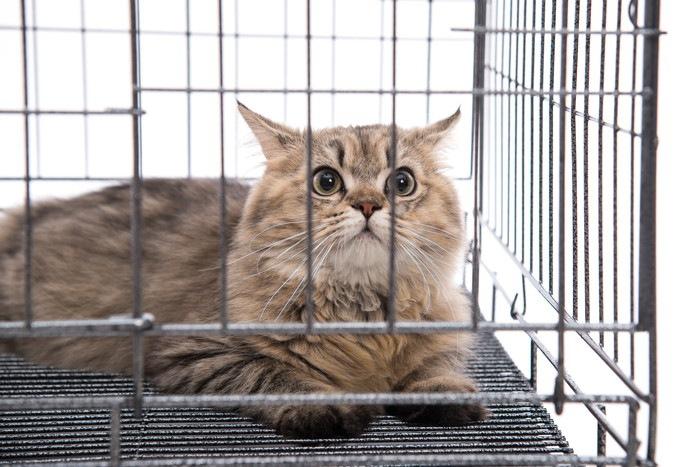 ケージの中からこちらを見る猫