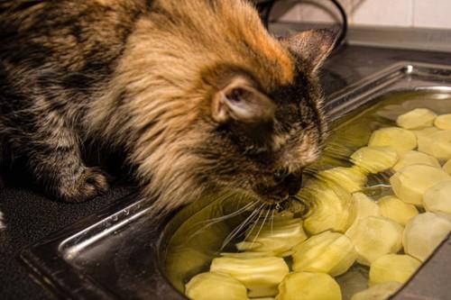 水に浸かるジャガイモを見る猫