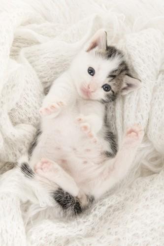 ふわふわな毛布の上で寝転ぶ子猫