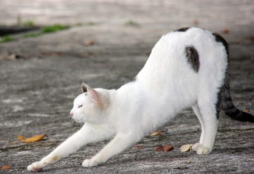 伸びをする白い猫
