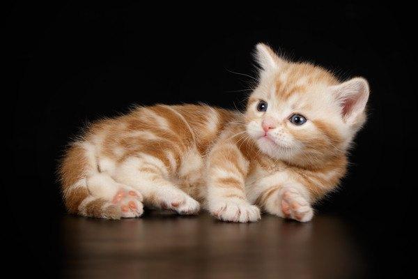 レッドタビーのアメリカンショートヘアの子猫
