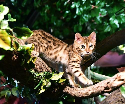 ベンガル木の上