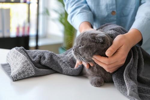 タオルに包まれて飼い主に撫でられている猫