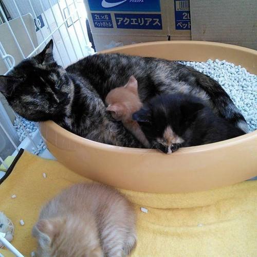 子猫の世話をする猫