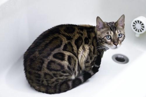 水の入っていない風呂桶に隠れる猫