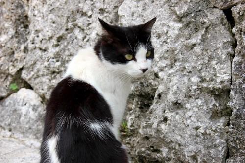 白黒のハチワレ猫