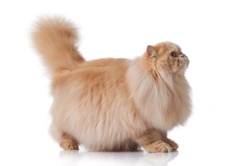 横向きのペルシャ猫