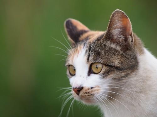 耳をピンとしている猫