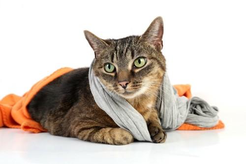 ストールをまいている猫