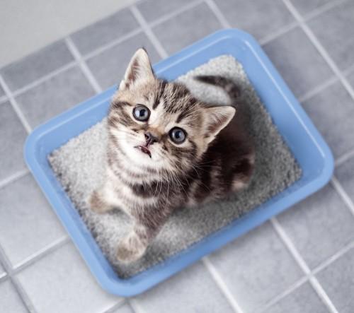トイレに入って見上げている子猫
